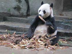 panda a Chengdu Cina